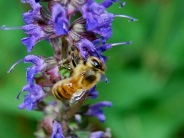 She is collecting nectar from one of my Salvia plants.
