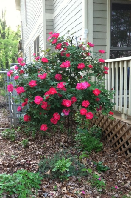 My Rose Tree 2