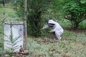 Cutting Branch Off Bush With Honey Bees