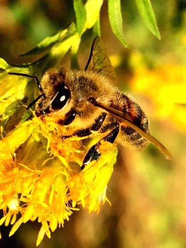 Honeybee collecting pollen from Goldenrod